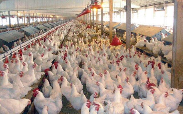 کمبود و افزایش قیمت خوراک مرغ / مرغ داران دنبال فروش نهادهها